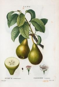Planches de botanique de Duhamel